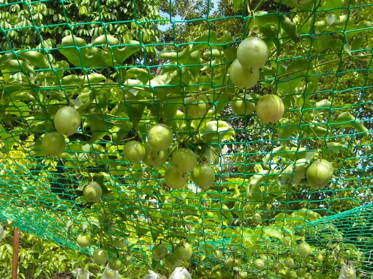 Passion Fruits At Peacock Ayurveda Garden Ayurveda Sri