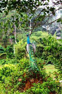 peacock-ayurveda-garden